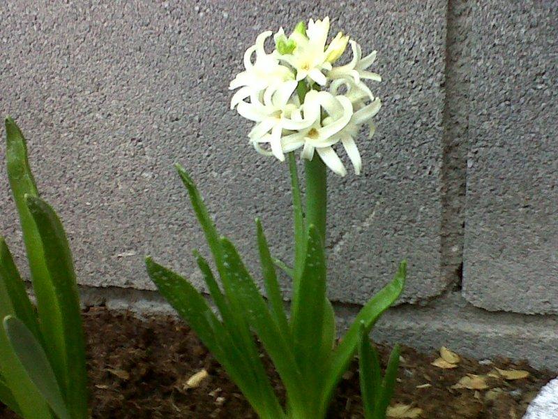 Jacinto imagen en jardineria for Jacinto planta interior