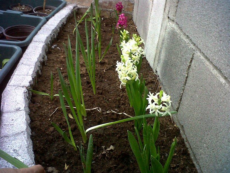 Jacinto imagen en jardineria - Jacinto planta interior ...